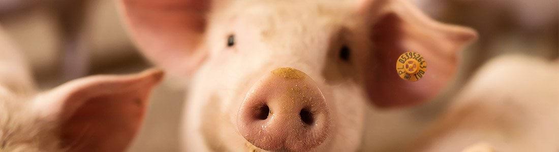 Świnia ma założony na małżowinie kolczyk Can Agri.