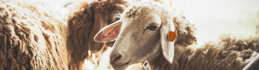 Kolczyki Can Agri na małżowinie usznej owcy.